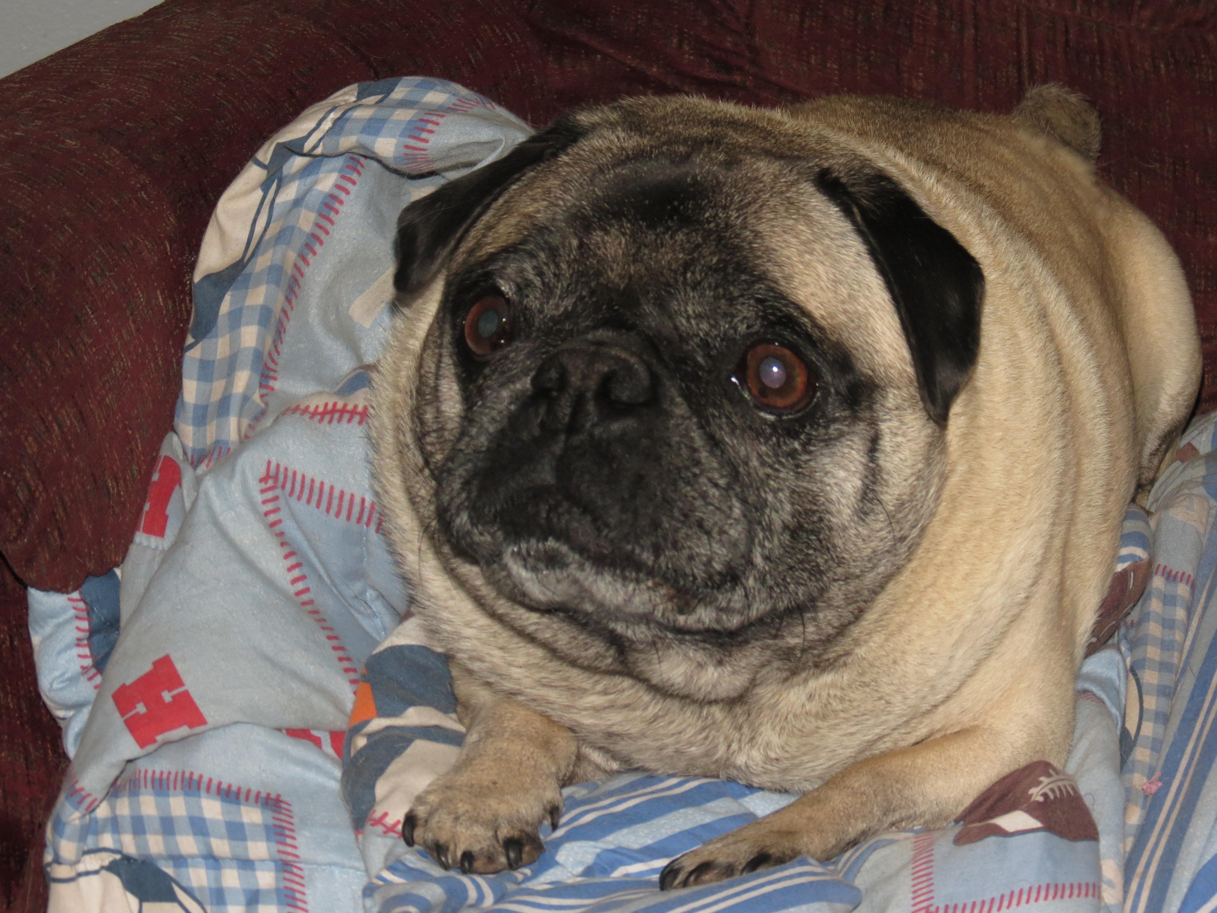 My Fat Pug | Senseless Ramblings of the Mindless