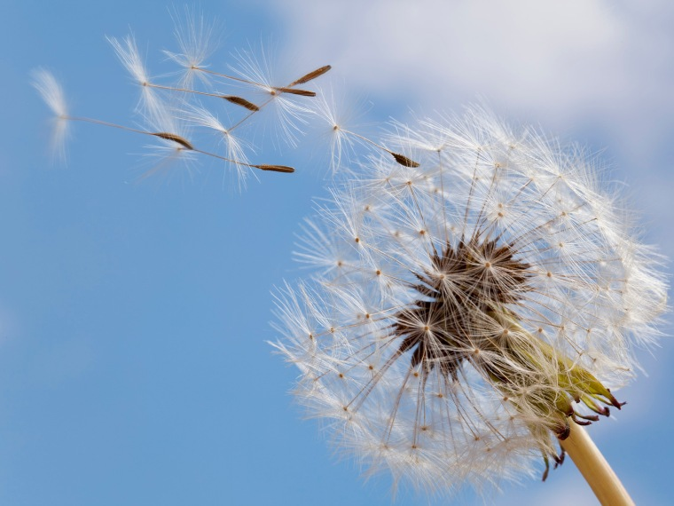 Common Dandelion; Seed head; Taraxacum officinale; macro; close up;